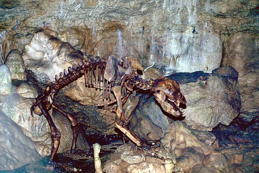 Vor einer braun und grau marmorierten Höhlenwand ist das Skelett eines Höhlenbären aufgestellt.