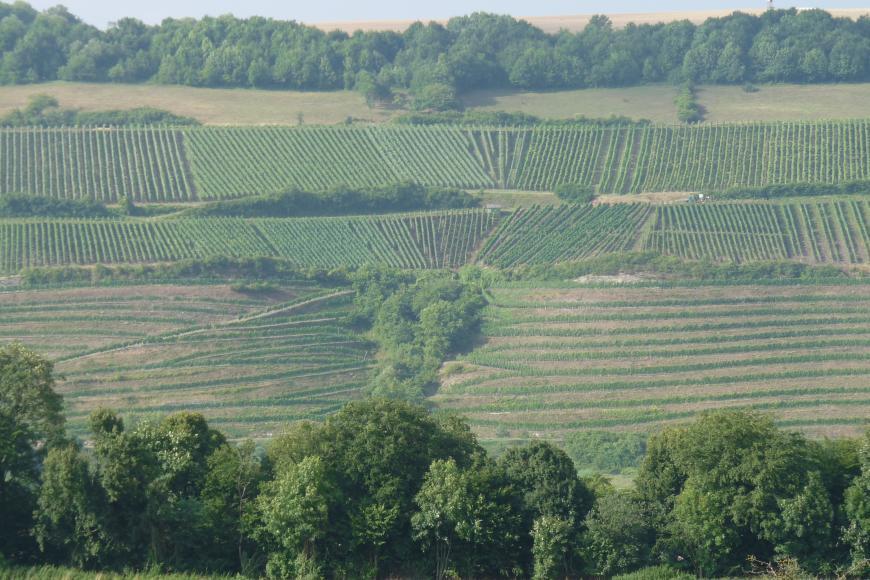 Über den Spitzen einer Baumgruppe öffnet sich ein großer Weinberg. Bis zur Bildmitte verlaufen die Rebstöcke in Terrassen von links nach rechts; darüber sind die Anlagen in vertikaler Richtung angeordnet. Ganz oben sieht man Grünland, Wald und Ackerböden.