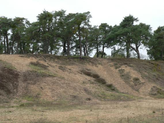 Das Foto zeigt wellige und nach links hin ansteigende, teils bewachsene Dünen. Auf der Kuppe stehen zahlreiche Bäume.