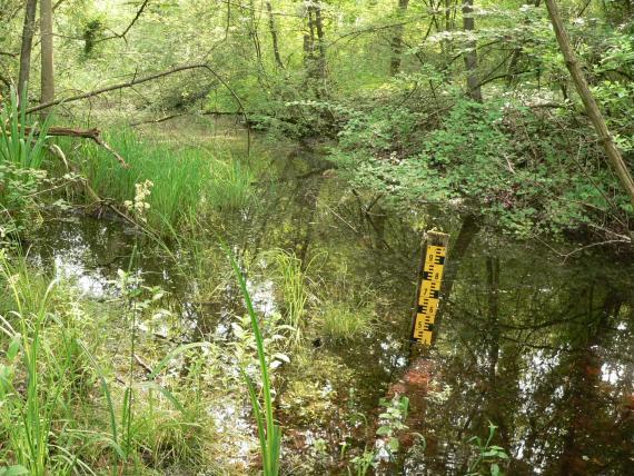 Das Foto zeigt eine dicht von Bäumen, Büschen, Schilf und anderen Gräsern gesäumte, teilweise auch durchsetzte Wasserfläche. Rechts der Bildmitte steht eine Messlatte im Wasser.