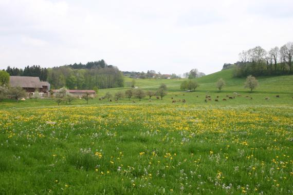 Blick auf eine blühende, im Vordergrund flache, im Hintergrund hügelige Wiesenlandschaft. Unterhalb der Hügel weiden Rinder.
