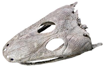 Vor weißem Hintergrund ist hier der Schädel eines Urlurches fotografiert. Der Schädel hat eine fast dreieckige, platte Form und weist Nasen- sowie große Augenlöcher auf.