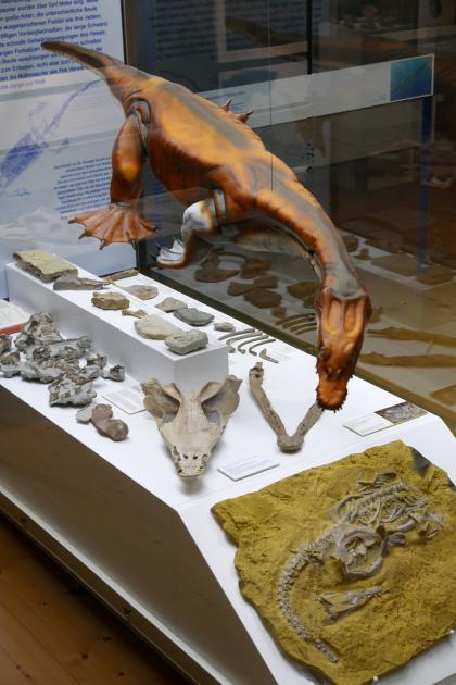 In einer Glasvitrine ist hier neben Knochen und einem Fossilabdruck auch das Modell eines Nothosauriers ausgestellt, einem Meeresräuber mit Schwimmhäuten zwischen den Zehen.