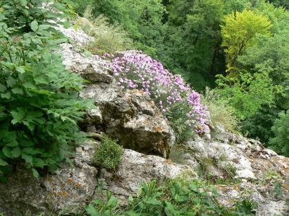 """Nahaufnahme eines von dichtem Bewuchs umgebenen bräunlich grauen Felsen. Das von links oben nach rechts unten abgeschrägte Gestein hat Spalten und Risse. Auf einer etwas angehobenen """"Nase"""" wachsen lila Blumen."""
