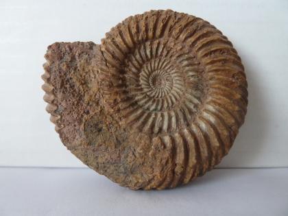 Nahaufnahme eines bräunlich grauen Fossils mit spiralförmigem Gehäuse. Links ist ein Teil der ringförmigen, das Gehäuse umlaufenden Segmente verloren gegangen.