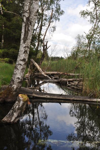 An einem schmalen Flusslauf stehen links Bäume mit weißer Rinde. Ein paar umgestürzte Stämme liegen im Wasser. Am rechten Ufer wachsen hohe Schilfgräser.