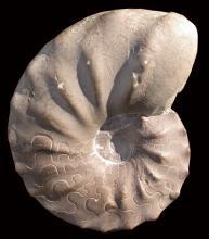Vor schwarzem Hintergrund wird die Versteinerung eines wirbellosen Urzeittieres präsentiert. Die Versteinerung hat die Form einer Spirale, mit speichenartigen Wülsten und Vertiefungen oben sowie feinen Schlangenlinien unten.