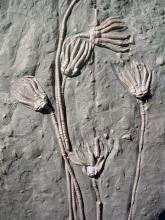 Auf einer grauen Steinplatte sind - eingetieft und darüber ausgebreitet - Versteinerungen von Pflanzen zu sehen. Die Pflanzenstiele sind lang und dünn, die Köpfe haben fingerartige Verästelungen.