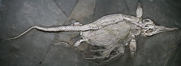 Blick von oben auf die in dunkelgraue Schieferplatten eingefasste Versteinerung eines Fischsauriers. Das Fossil hat einen großen, vorne spitz zulaufenden Kopf, einen dicken Leib, Paddelfüße und einen sehr langen Schwanz. Unten sind Jungtiere erkennbar.