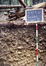 Das Foto zeigt ein unter umgestürzten Bäumen liegendes Bodenprofil. Es handelt sich um ein Musterprofil des LGRB. Das vier Horizonte umfassende Profil ist 70 cm tief.