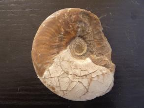 Nahaufnahme eines versteinerten Kopffüßers mit spiralförmigem Gehäuse. Der obere Teil des Fossils ist braun, der untere Teil weißlich.