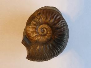 Nahaufnahme eines versteinerten Kopffüßers vor hellem Hintergrund. Das spiralförmige Gehäuse des Fossils ist schokoladenbraun. An der Oberfläche des Gehäuses sind Kerben und Wulste zu erkennen.