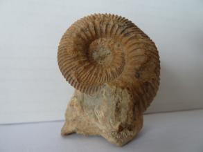 Nahaufnahme eines versteinerten Kopffüßers. Das spiralförmige, braun gefärbte Gehäuse des Fossils zeigt umlaufende Vertiefungen. Die Vorderseite ist an einem Gesteinsblock festgewachsen.