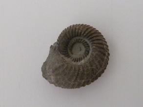 Nahaufnahme eines versteinerten Fossils mit spiralförmigem Gehäuse. Die Versteinerung ist dunkelgrau vor hellem Hintergrund.