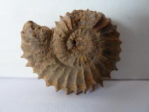 Nahaufnahme eines versteinerten Fossils mit spiralförmigem Gehäuse. Das fossile Gehäuse ist braun gefärbt und hat einen ausgezackten Rücken. Oben ist ein kleiner Teil ausgebrochen.