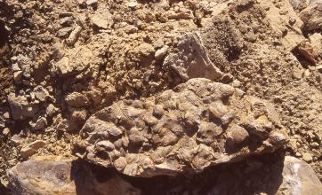 Nahaufnahme eines rechteckigen Steines mit unregelmäßigen Kanten und wie aufgeklebt wirkenden Bruchstücken von Fossilien, Muschelschalen oder kleinen Steinchen. Der bräunliche Stein ist eingebettet in Gesteinsschutt.