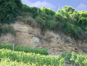 Oberhalb von Rebstockreihen erhebt sich eine hellbraune, im oberen Teil stark von Bäumen und Buschwerk bewachsene Felswand. Das Gestein weist Einbuchtungen und kleine Nischen auf.