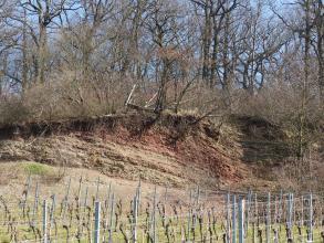 Blick auf eine längliche, nach rechts ansteigende und aus offenliegendem, rötlich braunem Gestein bestehende Böschung. Kuppe und rechte Seite der Böschung ist dicht mit Bäumen und Sträuchern bewachsen. Im Vordergrund stehen gestutzte Rebstöcke.