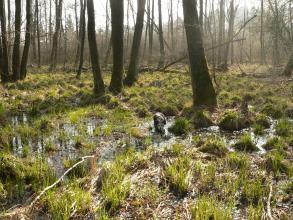 Das Bild zeigt einen lichten Wald mit Nass- und Feuchtflächen im Vordergrund. Im nassen Gras hält sich ein kleiner Hund auf.