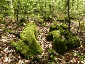 Auf einem von braunem Laub zugedeckten Waldboden, zwischen dünnen Bäumchen, liegen mehrere Felsblöcke verstreut. Die Blöcke, die unterschiedliche Formen haben, sind ganz mit Moos bedeckt.