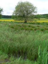 Auf dem Bild sind hohe, im Vordergrund in Wasser stehende Gräser zu sehen. Im Hintergrund, vor Waldstreifen und Wiesenflächen, steht ein ausladender Laubbaum.