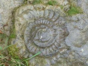 Nahaufnahme eines spiralförmigen grauen Schneckengehäuses, eingebettet in feuchten Untergrund.