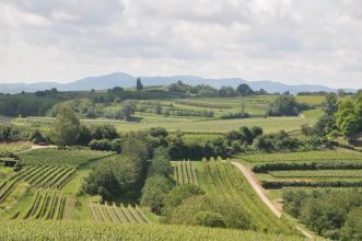 Blick auf eine hügelige Landschaft mit terrassierten Rebanlagen. Im Hintergrund sind bewaldete Berge zu erkennen.