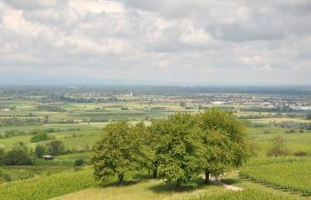 Blick von erhöhtem Standort über Rebanlagen auf eine flache, von Siedlungen durchsetzte Landschaft. Im Hintergrund links steigen Berge auf. Im Vordergrund, auf einer Rebterrasse, steht eine Baumgruppe.