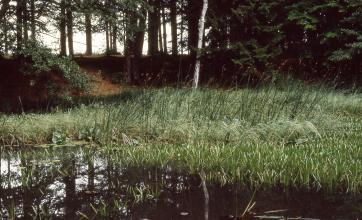 Auf dem Bild ist eine dunkle, von Schilf und anderen Wasserpflanzen umrandete Wasserfläche zu sehen. Dahinter ist eine kleine, bewaldete Böschung erkennbar.