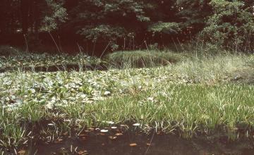 Das Bild zeigt einen dichten Teppich aus Schilf und anderen Wasserpflanzen, der zwischen dunklen Wasserflächen im Vorder- und Hintergrund treibt. Dahinter liegt schattiger Wald.