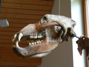 Nahaufnahme eines knöchernen Tierschädels mit länglichem Ober- und Unterkiefer, stumpfen Backenzähnen und spitzen Schneidezähnen.