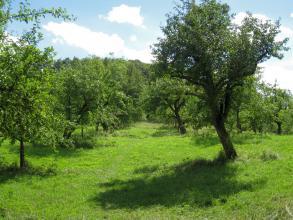 Blick auf eine leicht bucklige grüne Wiese mit zahlreichen, teils schief stehenden Obstbäumen.