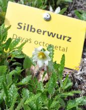 Nahaufnahme von Silberwurz. Die Pflanze hat schmale, gekerbte Blätter mit abgerundeten Rändern sowie eine weiße Blüte mit gelben Pollen.