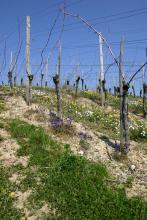 Blick auf einen nach links ansteigenden Weinberghang. Die Rebstöcke sind noch kahl, ohne Blätter oder Trauben.