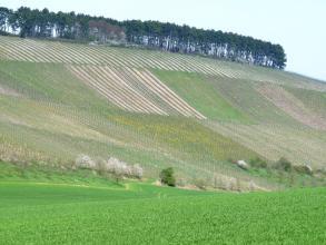 Das Bild zeigt steile, nach links aufsteigende Rebflächen. Die Kuppe ist bewaldet. Im Vordergrund, dem Betrachter entgegen, erhebt sich eine Grünlandfläche.