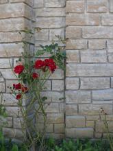 Das Bild zeigt eine Bruchsteinmauer aus beige-grauem Kalkstein. Mittig links vor der Mauer wächst eine Rose mit mehreren roten Blüten.
