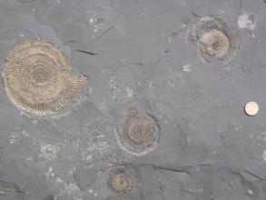 Mittelgraue, sehr feinkörnige Gesteinsplatte mit mehreren, unterschiedlichen goldfarbenen Ammoniten. Am rechten Bildrand liegt eine Münze als Maßstab.