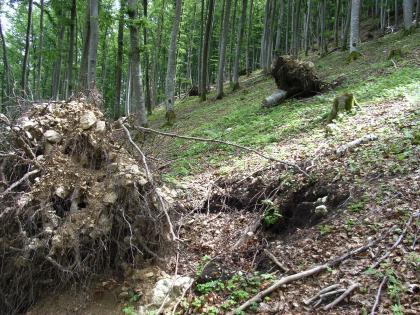 Das Bild zeigt einen bewaldeten, nach links abfallenden Steilhang. Links und im Hintergrund liegen große, ausgerissene Wurzelballen, vermischt mit Erde und Schutt. Rechts ist in einer Vertiefung der Unterboden sichtbar.