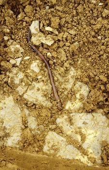 Von oben blickt man auf einen teils krümeligen, teils festen gelbbraunen Boden mit größeren hellen Steinen im unteren Teil. Ein Regenwurm schiebt sich zwischen dem lockeren Boden und dem Gestein hindurch.