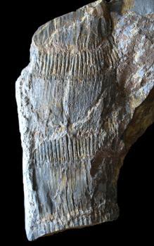 Das Bild zeigt einen graublauen Gesteinsbrocken, auf dem sich der fossile Abdruck einer Pflanze erkennen lässt.