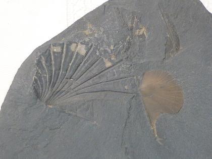 Nahaufnahme einer grauen Schieferplatte, in der links die Abdrücke einer Muschel zu sehen sind, rechts eine Muschelschale eingelagert ist. Links ist zudem der eckige Rand der Platte sichtbar.