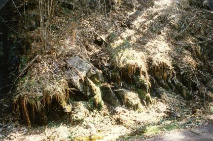 Blick auf eine nach rechts abfallende Böschung. Es sind Felsgesteine sichtbar, die unter einer überhängenden Pflanzendecke liegen. Die Böschung befindet sich am Rand eines Waldes, der links und oben noch erkennbar ist.