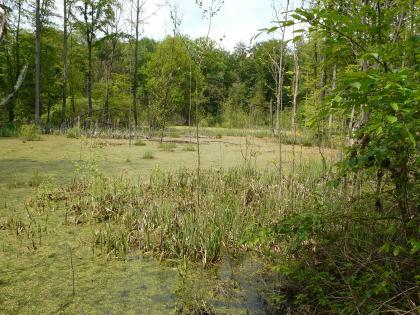 Das Bild zeigt einen mit Schilf und Wasserpflanzen bedeckten See oder Tümpel auf einer Waldlichtung.