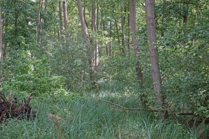 Blick in einen Wald mit Unterholz, hoch stehendem Gras und dicht stehenden, schlanken Bäumen.