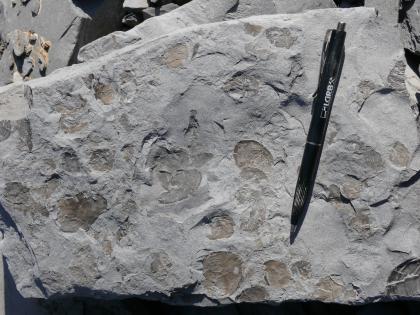 Blick auf ein hellgraues Gesteinsstück mit zahlreichen darin eingebetteten, von Muscheln stammenden bräunlichen Schalenresten. Rechts dient ein aufgelegter Kugelschreiber als Größenvergleich.
