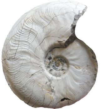 Nahaufnahme eines spiralförmigen, versteinerten Fossils. Das Fossil ist weißlich grau und zeigt links und oben fein verästelte Risse.