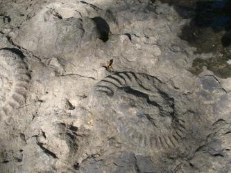 Großaufnahme von versteinerten Schalentieren in einem grauen Felsenbett.