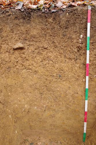 Das Foto zeigt ein Bodenprofil unter Laub. Das hellbraun gefärbte Profil ist 1,20 m tief.