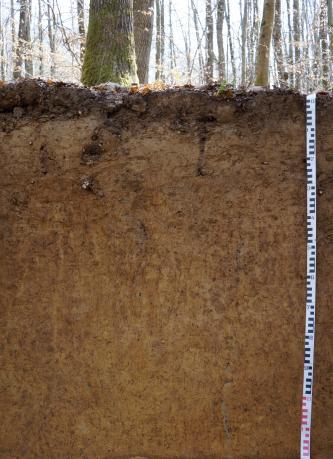 Musterprofil eines hellbraunen, homogenen Bodens unter Wald. An der rechten Bildseite befindet sich ein Maßstab.