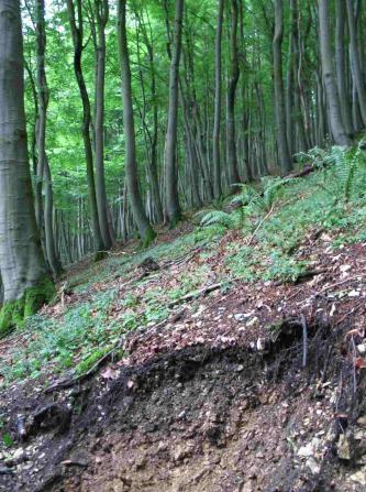 Das Bild zeigt einen nach links geneigten Steilhang mit Waldbestand. Die schlanken, hohen Bäume sind Buchen. Manche Stämme sind unten gebogen oder verdreht.